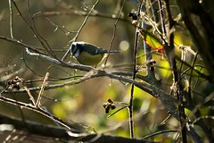 20140202_17_Coombe Country Park - Blue-Tit from The Bird Hide