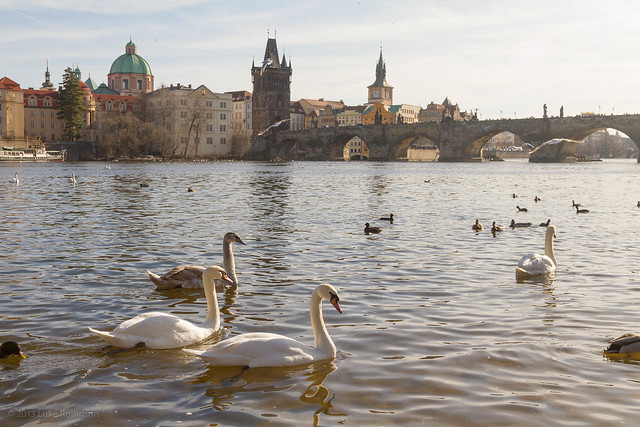 Swans on the Vltava and the Charles Bridge
