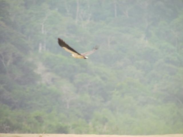 Elang selalu jadi predator alami di Sukamade