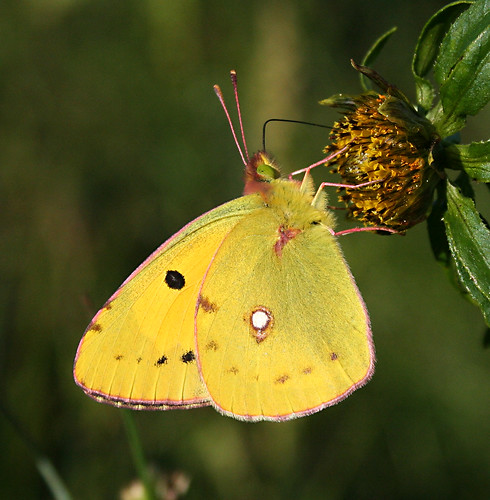 Clouded Yellow Colias crocea Tophill Low NR, East Yorkshire August 2013