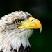 Amerikanischer Weißkopfseeadler