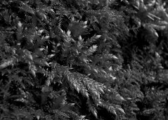 IMGP2050 - B+W_Coombe Country Park - Spikey Moss_By Craig