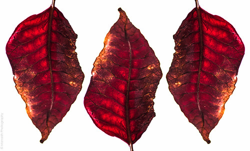 Leaves of the Poinsettia plant // 20 01 13 by Manadh