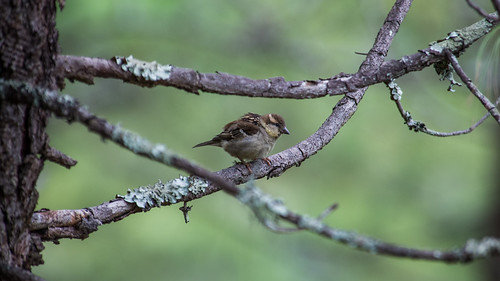 Russet Sparrow (female)