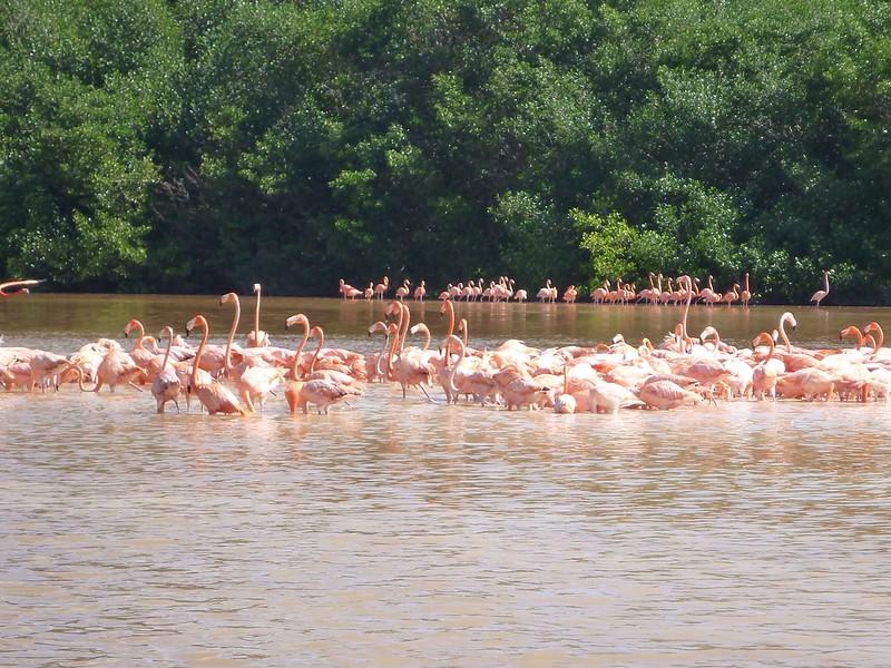 Flamingos at Celestun, Yucatan