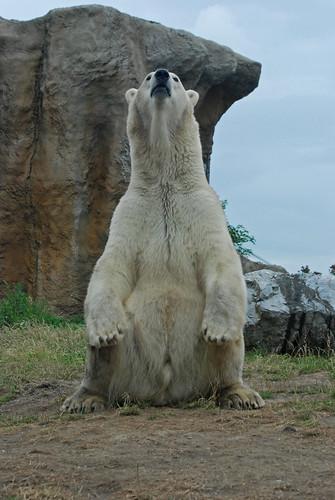 Eisbär Vicks im Diergaarde Blijdorp