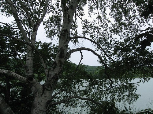 Birch overlooking lake, Indian Lake Park