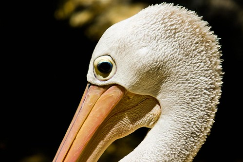 Pelican by Richard Le Sauvage