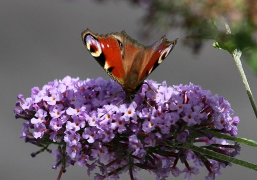 European Peacock (Inachis io) on a flower