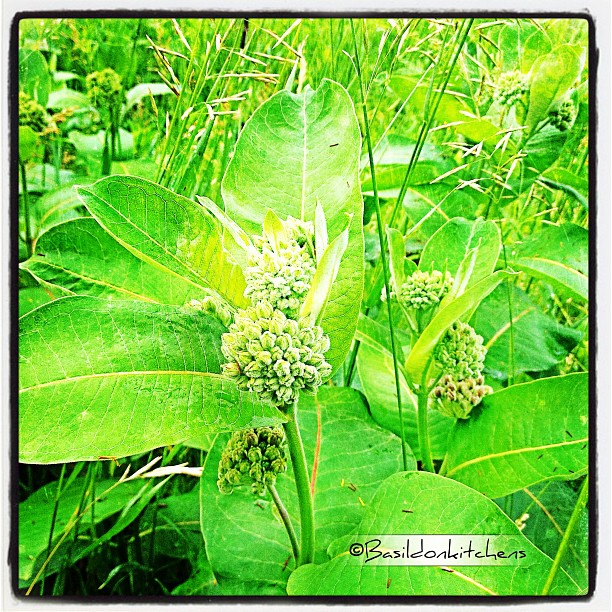 June 18 - weeds {milkweed; love that it attracts swarms of Monarch butterflies} #photoaday #weeds #milkweed