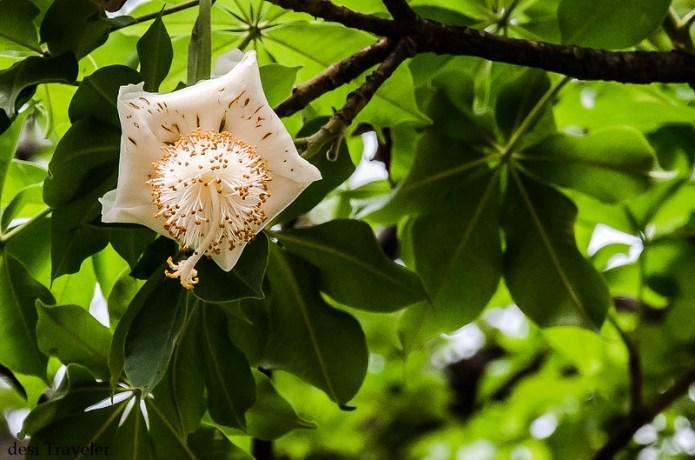 flower of baobab tree