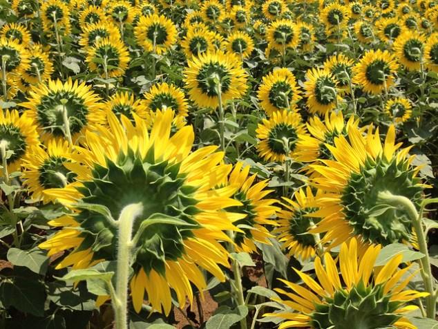 明野ひまわり畑 / Akeno Sunflower Field