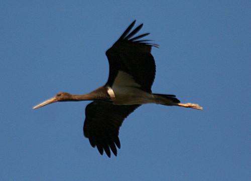 Black Stork Ciconia nigria Cabranosa, Sagres, Portugal October 2013