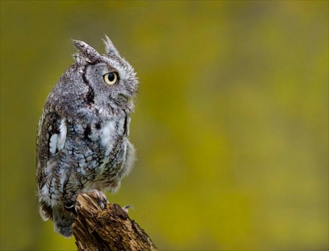 Eastern Screech Owl 37
