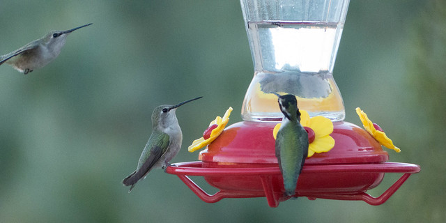 Costa's Hummingbirds-1080115