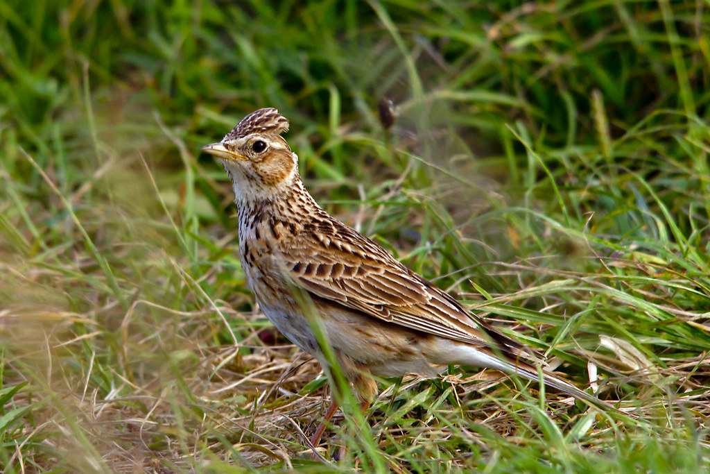 Skylark, Crest Raised