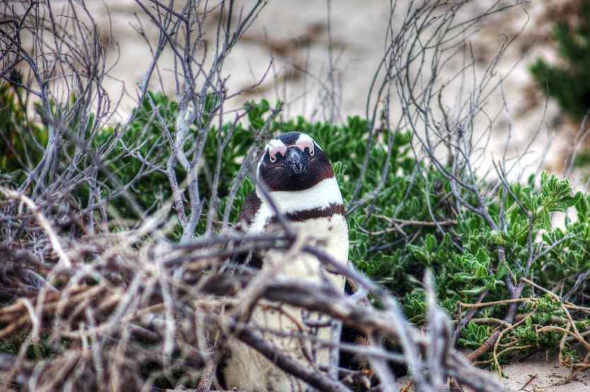 Mr. Penguin, Boulders Penguin Colony, South Africa.