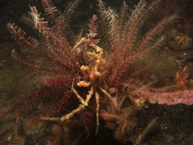 Spider Crab in Feather Stars