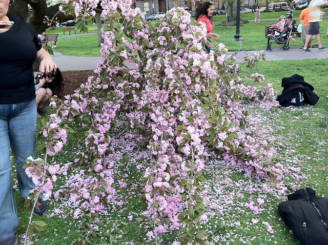 Cherry tree down