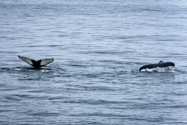 Two Humpback whales show their tails after surfacing.