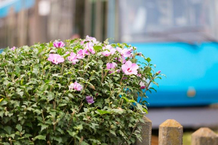 【EOS 5D MarkⅢ】花の向こうの世田谷線