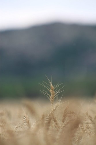 A little wheat. I really like how this turned out for some reason.