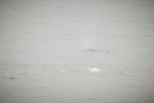 Spouting Whale from Foulweather Point