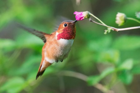 Rufous Hummingbird at flower