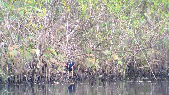101. Purple Gallinule - Pennsylvania - IMG_4511