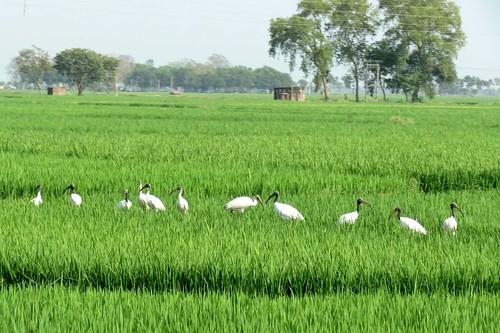 White Ibis (Sada Kastecera)