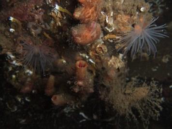 Sea Squirts (Pyura microcosmus)