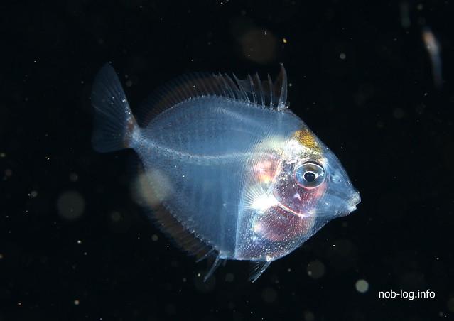 ニザダイ幼魚