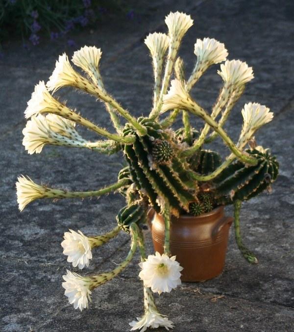 Kaktus med 19 blomster