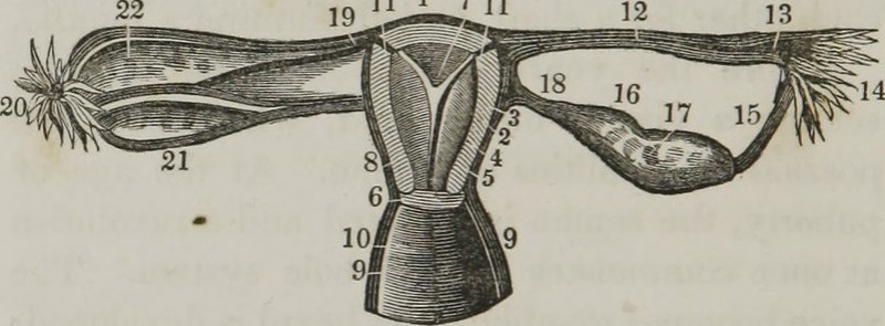 """Image from page 43 of """"A treatise on the nature and treatment of seminal diseases, impotency, and other kindred affections : with practical directions for the management and removal of the cause producing them, together with hints to young men"""" (1848)"""