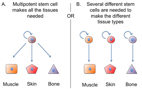 Stem cell models for regeneration.img_assist_custom-497x313