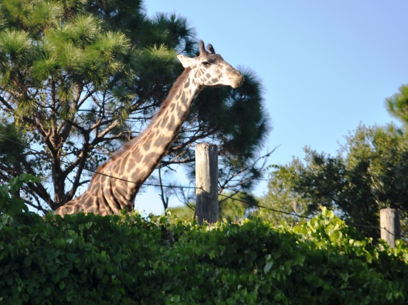 Kayaking By Giraffes -  Brevard Zoo, Melbourne in Florida's Space Coast, Nov. 7, 2014