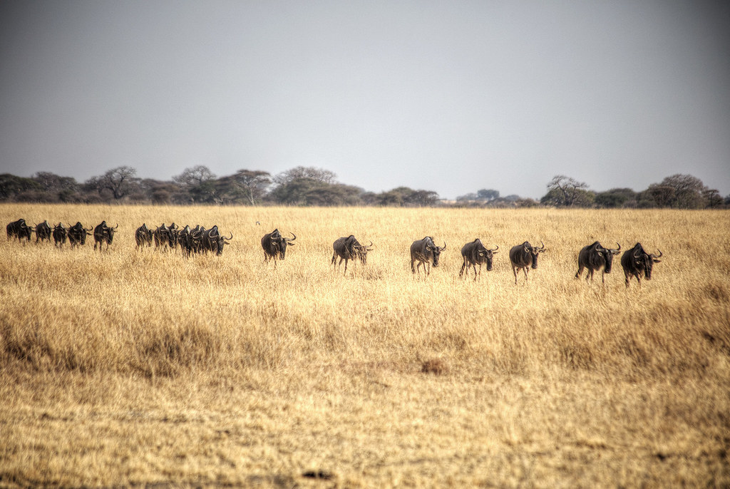 A line of wildebeests