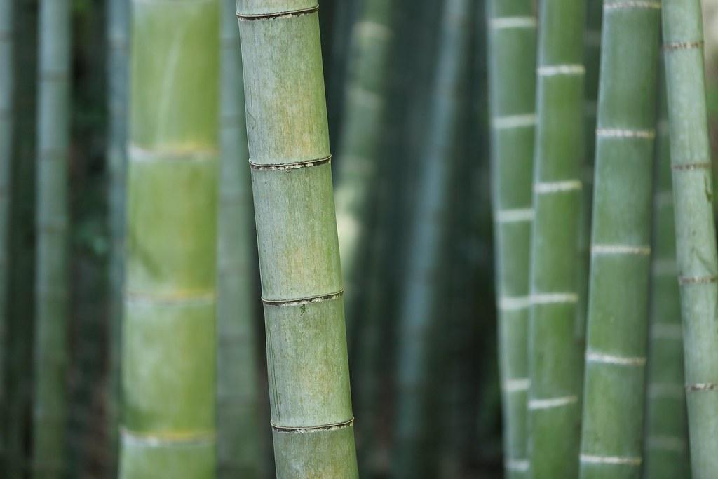 Imagen gratis de bambú