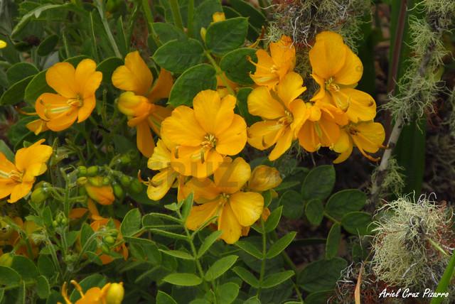 Alcaparra (Senna cumingii) - Desierto Florido