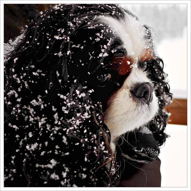Snowy Oakley