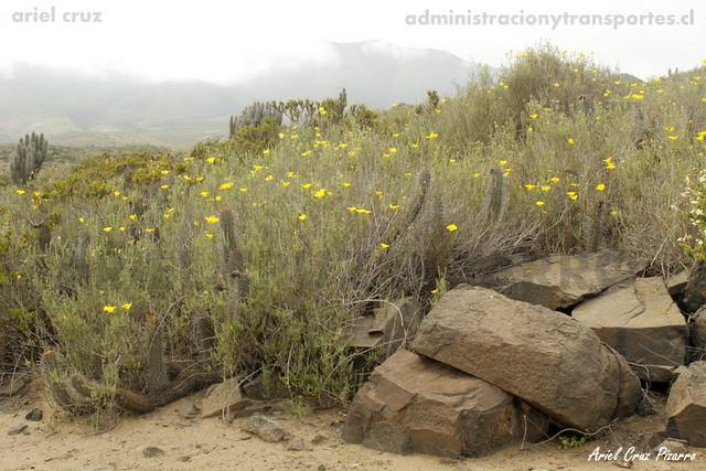Amancay (Balbisio peduncularis) - Desierto Florido