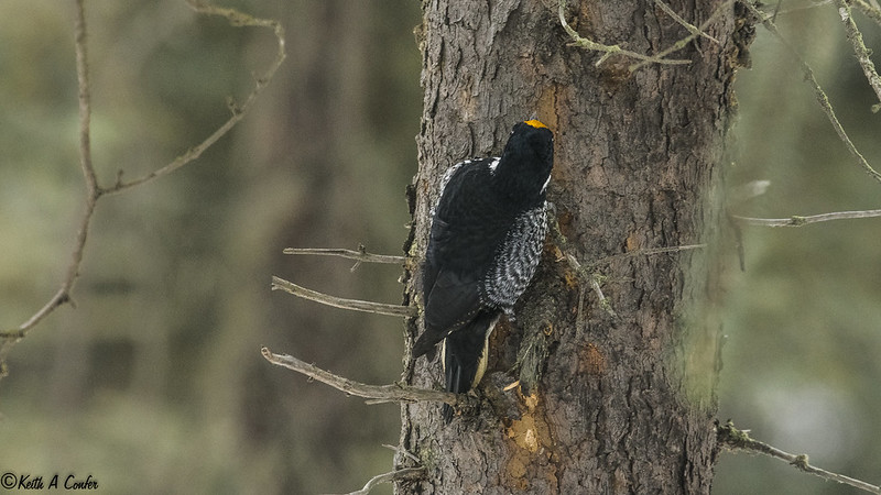 151219 - Anchorage - Black-backed Woodpecker