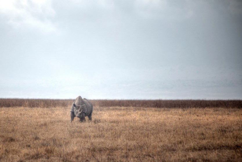 A black rhino inside Ngorongoro Conservation Area