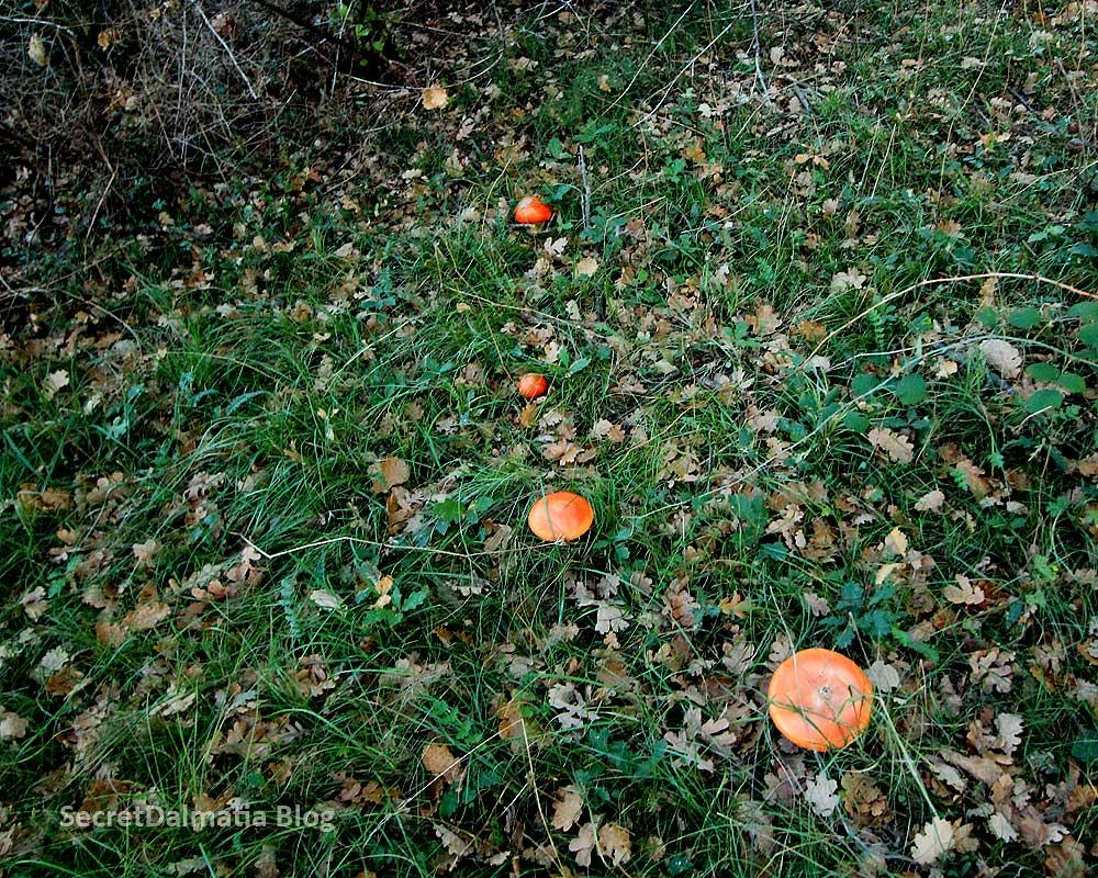 Blagva or Caesar's mushroom (Amanita caesarea)