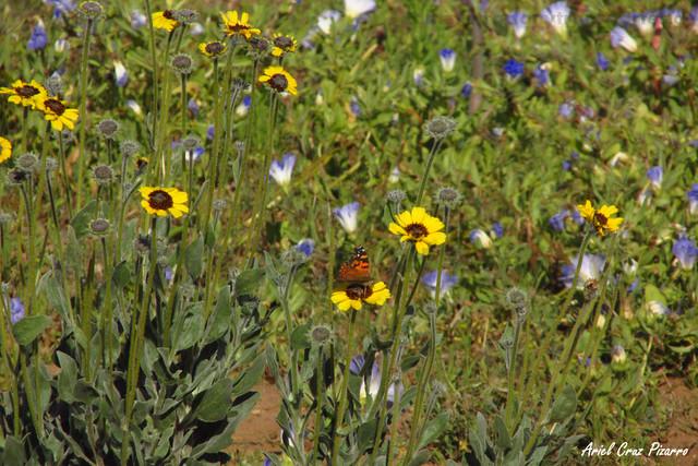 Corona del Fraile (Encelia canescens) & Mariposa de la tarde (Vanessa Carye) - Desierto Florido Costero