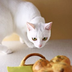 * ドロボウねこ襲来。 #nekomikan #みかん #whitecat #白猫 #しろねこ