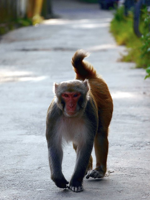 A macaque makes its way towards me