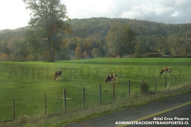 Vacas - Camino Villarrica - Lican Ray
