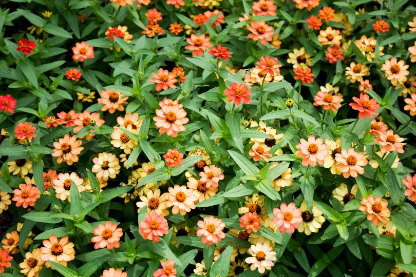 mt-cuba-gardens-orange-ombre-flowers