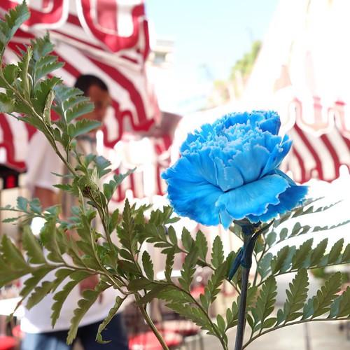 ダイヤモンドブルーの青いカーネーション。